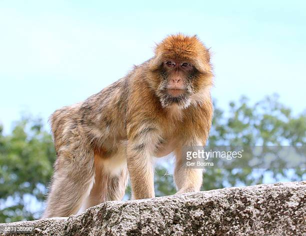 Mature Male Barbary Macaque