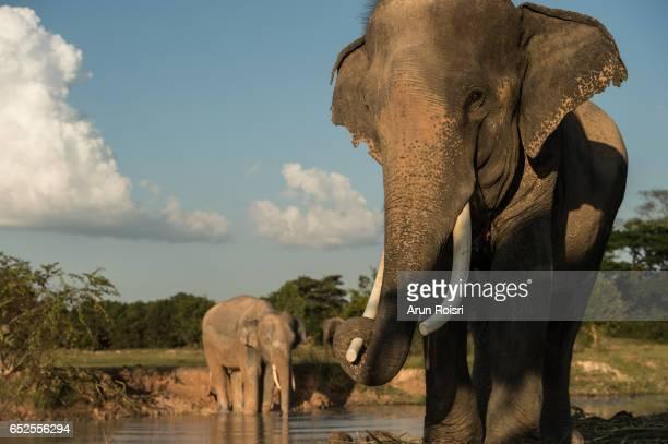 Mature male bull elephant having fun in the water. Elephant of Thailand. Animals behavior, Wildlife.