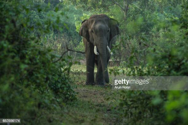 Mature male bull elephant with long tusks stands in the middle of the forest in Surin, Thailand
