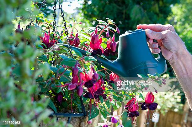 mature male gardener watering fuchsia (fuchsia magellanica) plant in hanging basket - hanging basket stock pictures, royalty-free photos & images
