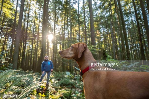 mature man calling vizsla dog in sunlit autumn forest - animal call stock pictures, royalty-free photos & images