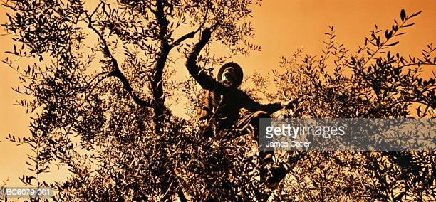 Mature man climbing olive tree (Olea europea),close-up (toned B&W)