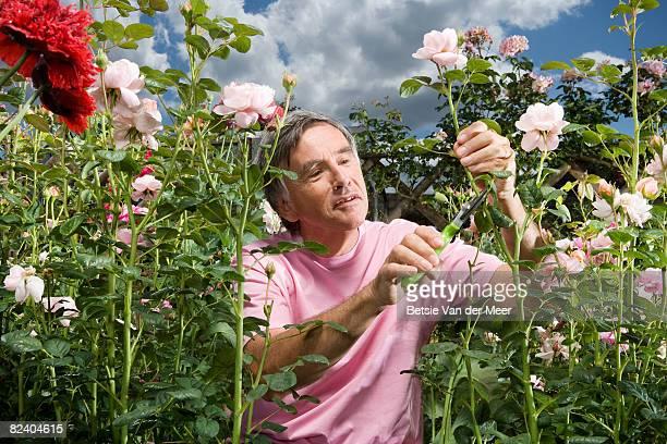 Mature man cutting rose in garden.