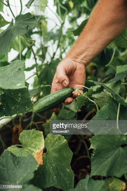 mature man, gardener in greenhouse, hand holding cucumber - cucumber stock pictures, royalty-free photos & images