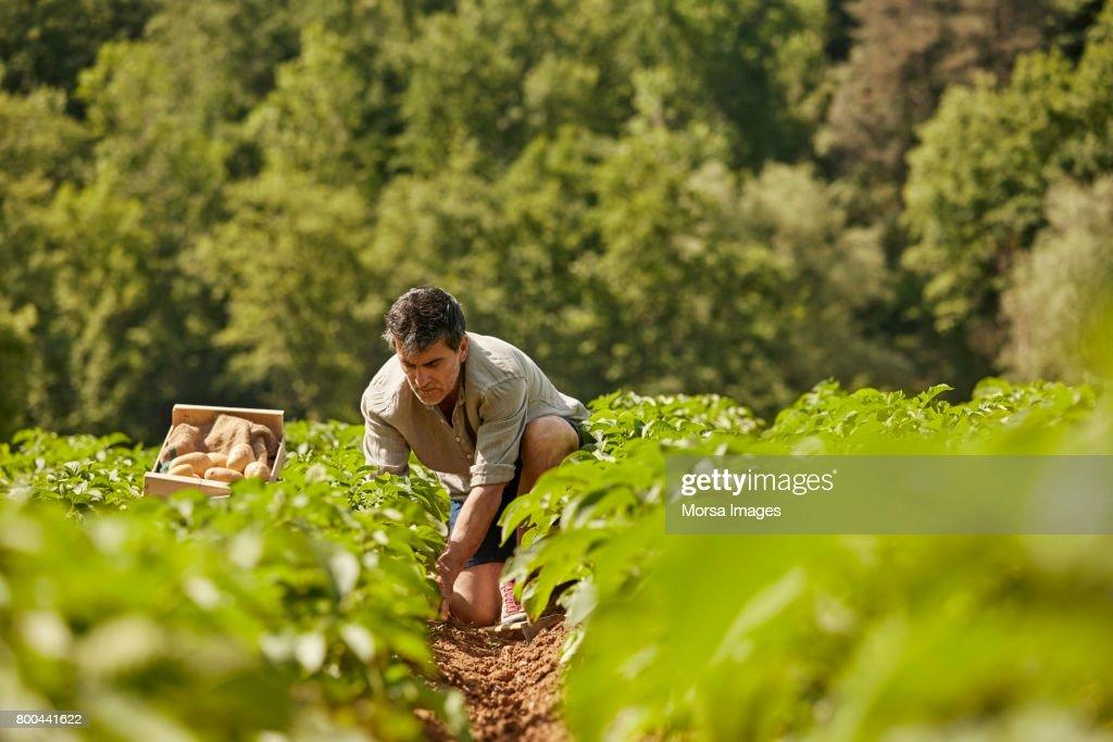 Hombre maduro cosechar patatas en el campo : Foto de stock
