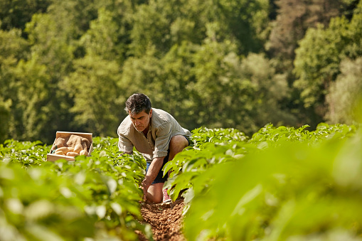 Mature man harvesting potatoes on field 800441622