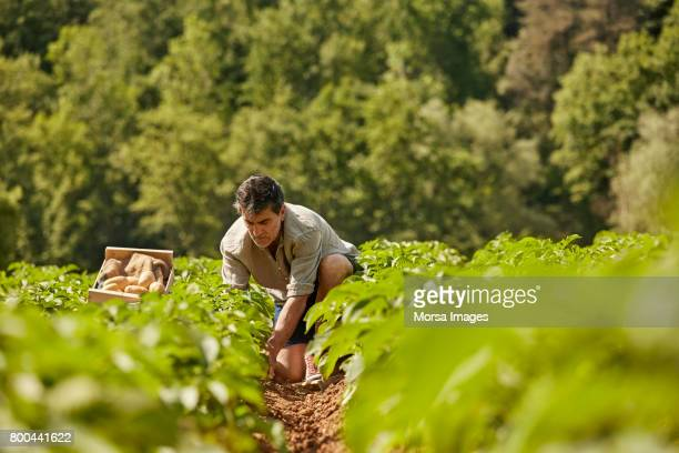Mature man harvesting potatoes on field