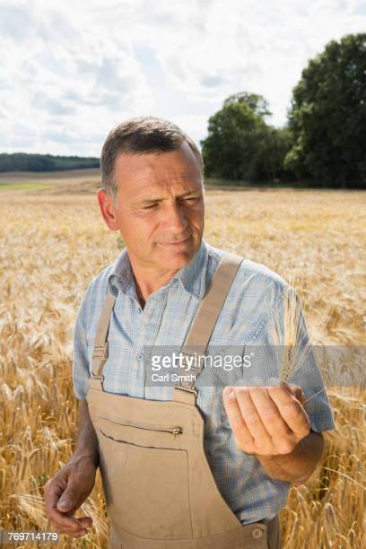 Mature man holding wheat ear while standing at farm