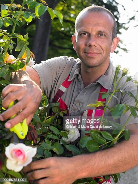 Mature man in striped apron pruning rose bush, smiling, portrait