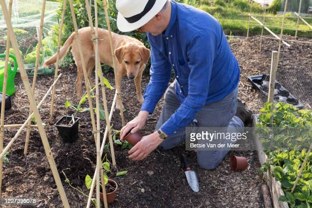 mature man is planting bean plants in vegetable garden, while pet dog looks on. - bohnenranke stock-fotos und bilder