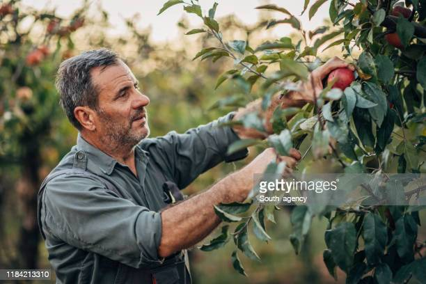 mature man picking up apples - apple fruit stock pictures, royalty-free photos & images