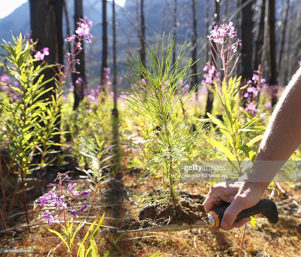 Mature man planting conifer tree between fireweed flowers (Epilobium angustifolium) in burnt forest, close-up of arm and hand : Stock Photo