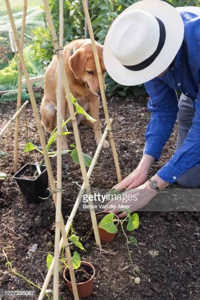 mature man plants bean plants while labrador dog looks on. - bohnenranke stock-fotos und bilder