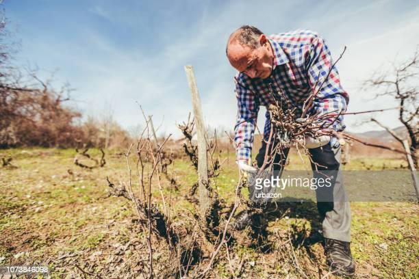 Reifer Mann beschneiden Obstbäume und Weinberg