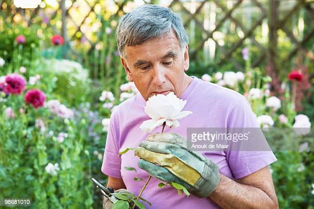 mature man smells rose. - bedektzadigen stockfoto's en -beelden
