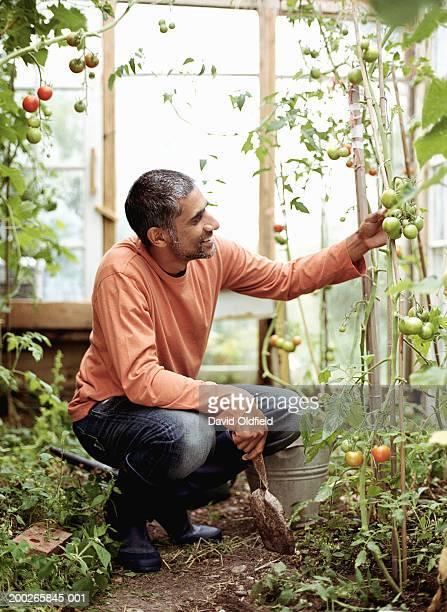 Mature man touching tomato plants greenhouse, smiling