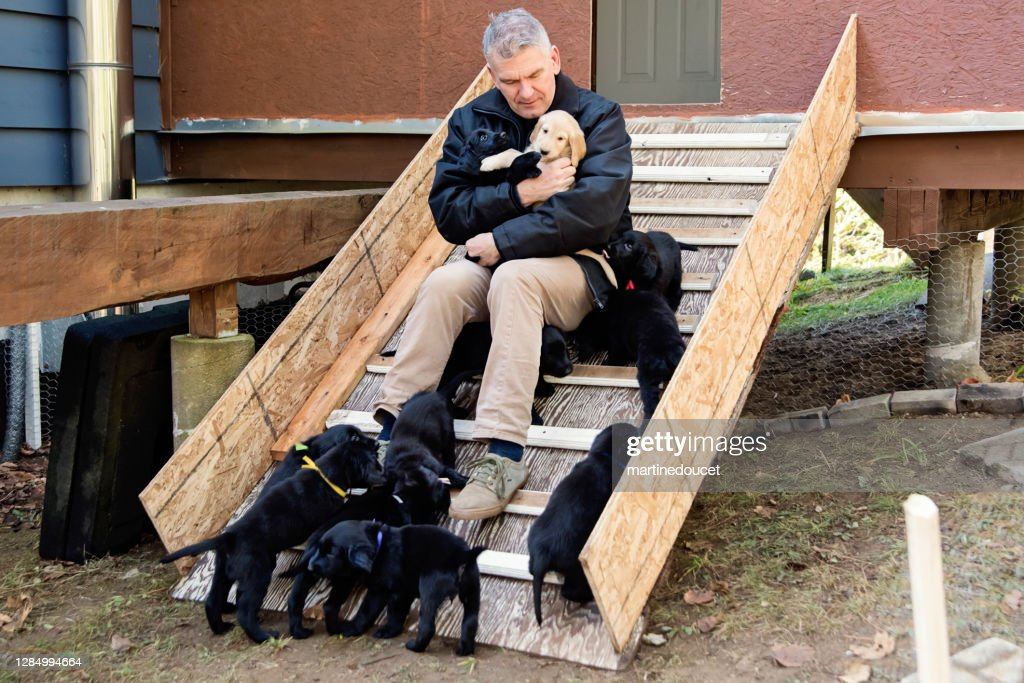 Mature man with purebred flat-coated retriever puppy litter. : Stock Photo