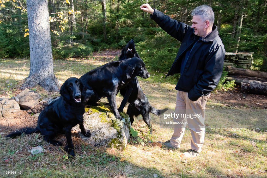 Mature man with purebred flat-coated retrievers. : Stock Photo