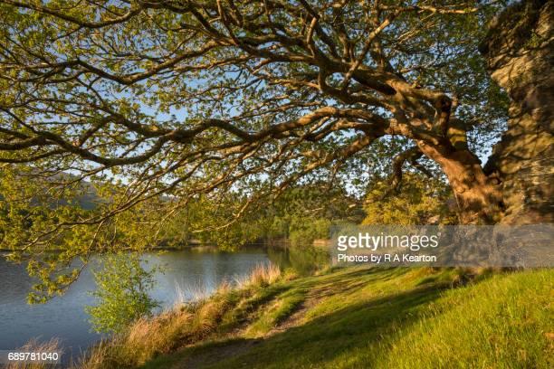Mature Oak tree beside a peaceful lake in spring sunlight