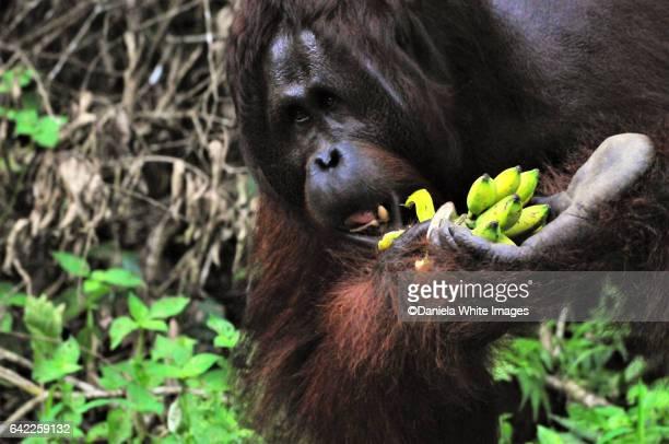 Mature Orangutan in the wild, Borneo, Malaysia