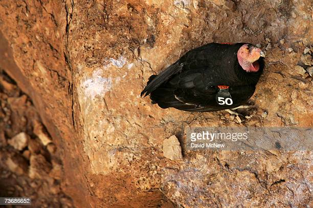 A mature rare and endangered California condor looks up from a ledge high up a cliff in Marble Gorge east of Grand Canyon National Park March 22 2007...