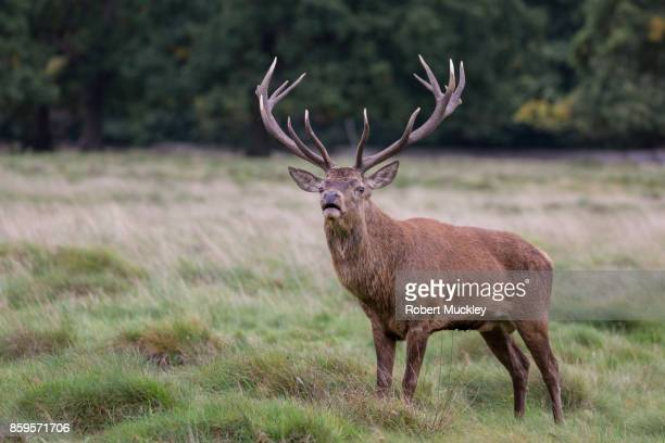mature red stag - hampton court stock pictures, royalty-free photos & images