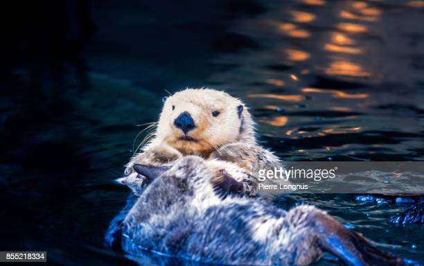 mature sea otter - enhydra lutris - (white face means older animal) swimming around onthe back, relaxing at sea, british columbia, canada - bc stock pictures, royalty-free photos & images