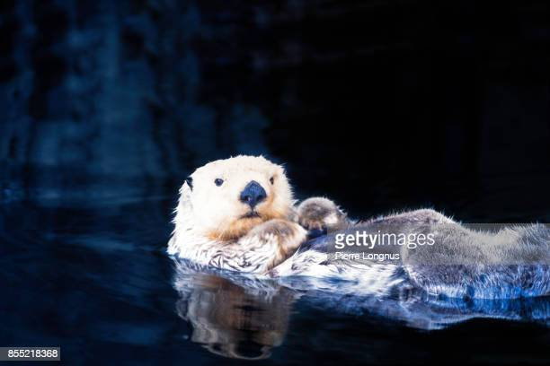 mature sea otter - enhydra lutris - (white face means older animal) swimming around onthe back, relaxing at sea, british columbia, canada - sea otter stock photos and pictures