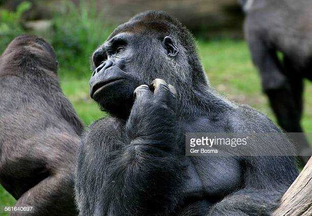 mature silverback gorilla - gorilla hand stock photos and pictures