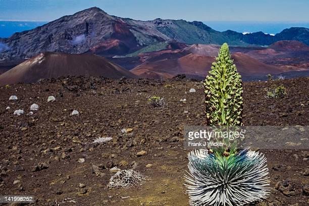 mature silversword plant - argyroxiphium sandwicense - fotografias e filmes do acervo