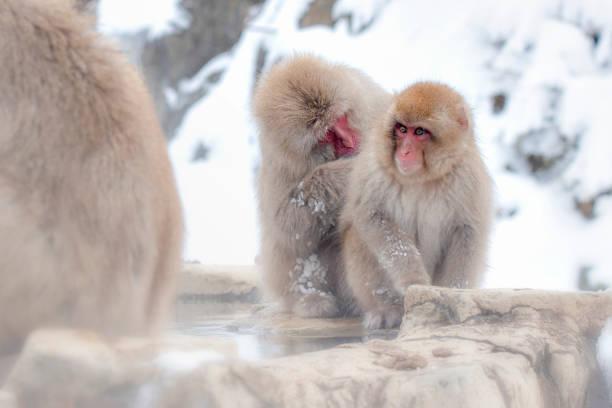 Mature Snow Monkey and Baby Snow Monkey in Winter at Jigokudani Snow Monkey Park, Nagano, Japan