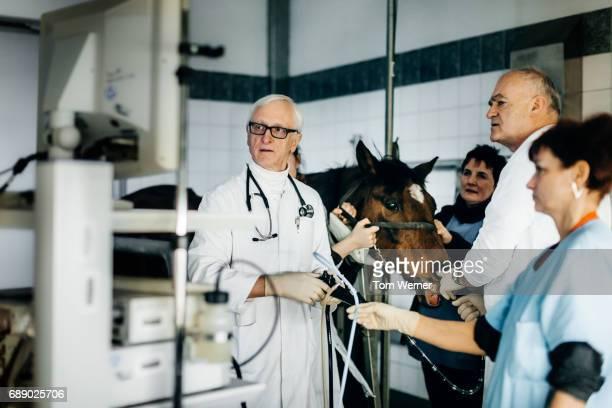 mature veterinarian examining throat of a horse with endoscope - cavallo equino foto e immagini stock