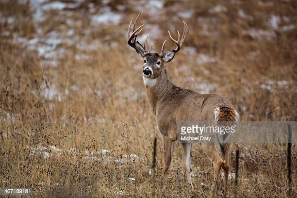Mature Whitetail Buck
