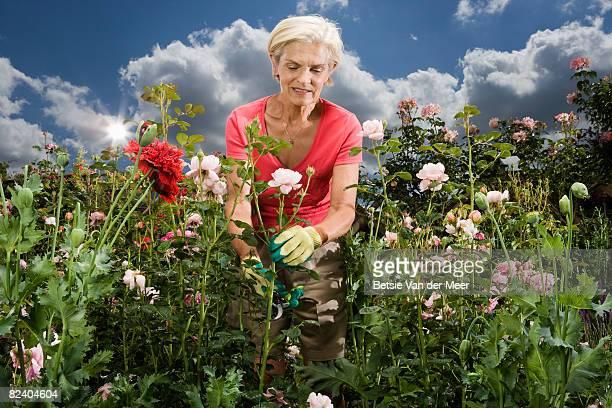 mature woman cuts rose from rosebush.
