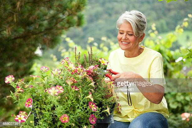 mature woman cutting flowers with a pruner - pruning shears stock photos and pictures