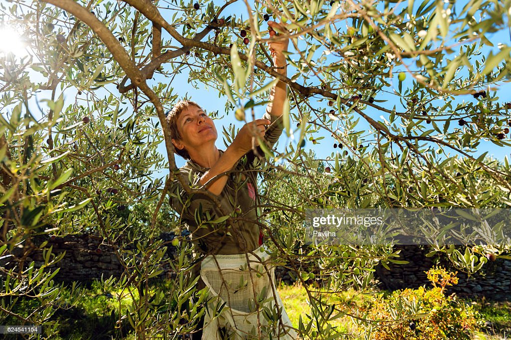 Mature Woman Harvesting Olives in Brac, Croatia, Europe