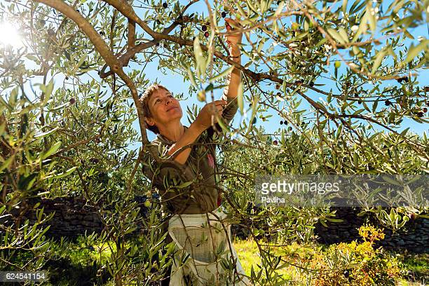 mature woman harvesting olives in brac, croatia, europe - aceitunas fotografías e imágenes de stock