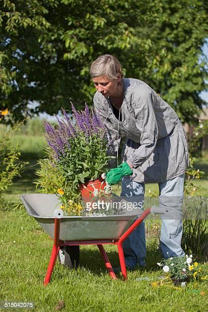 Mature woman loading flower pots in wheelbarrow at garden