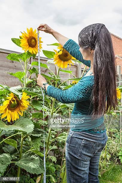 Mature woman measuring sunflowers in garden