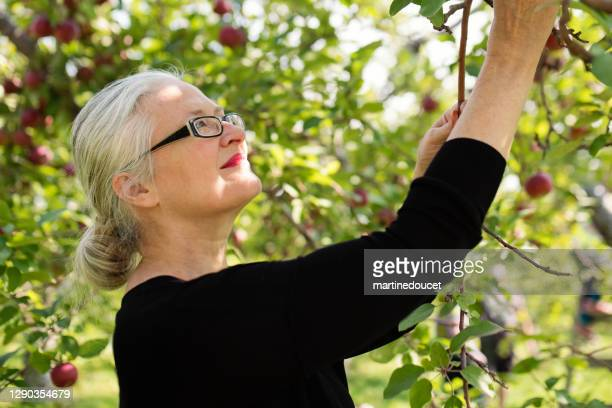 "mature woman picking up apples in orchard. - ""martine doucet"" or martinedoucet stock pictures, royalty-free photos & images"