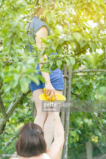 Mature woman placing picked plums into mothers bowl in orchard