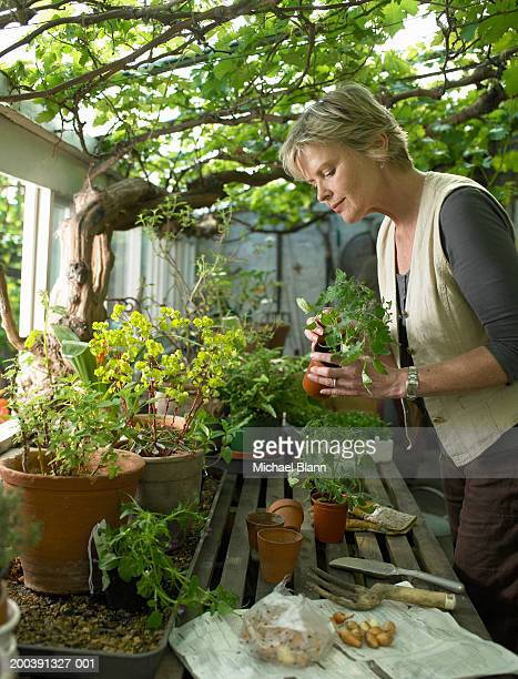 Mature woman potting plants in greenhouse