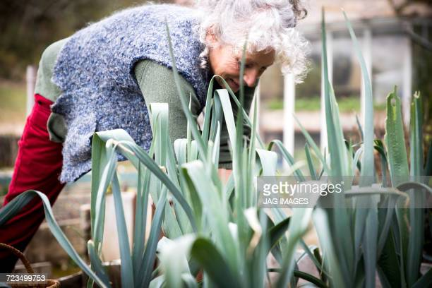 mature woman tending leeks in garden - older woman bending over stock pictures, royalty-free photos & images