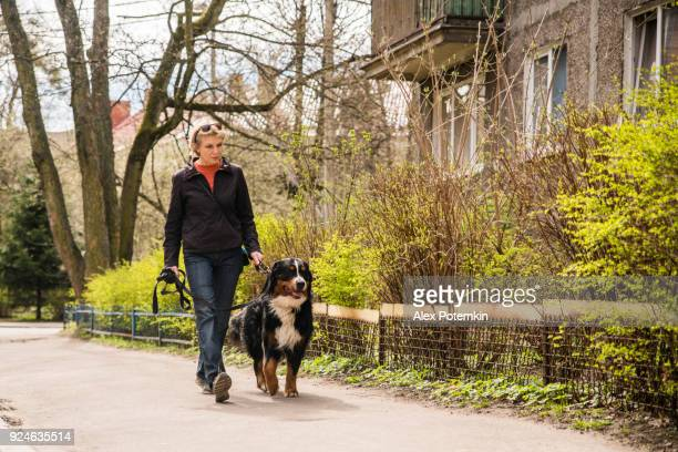 mature woman walking the dog on the street - dog walker stock photos and pictures