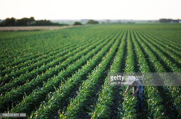 mature woman working in soybean field, elevated view - agriculture stock pictures, royalty-free photos & images