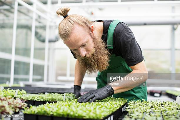 Mature worker examining seedlings in greenhouse