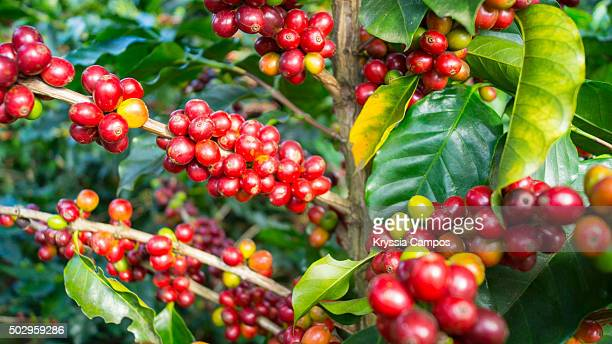 Maturing Arabica Coffee beans on branches