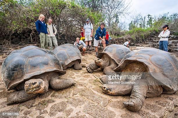 mauch admired giant tortoises - isla de santa cruz islas galápagos fotografías e imágenes de stock