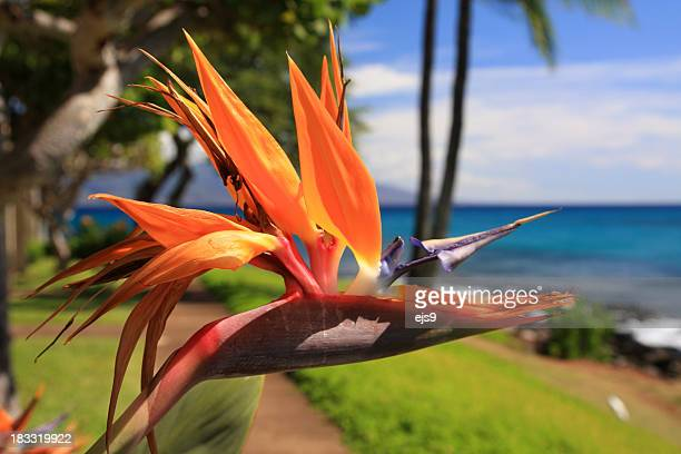 Maui Hawaii resort hotel Bird of paradise flower
