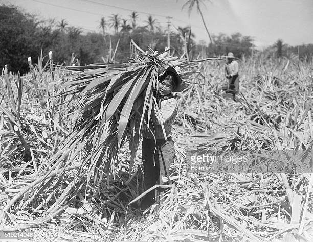 Japanese women carrying a bundle of sugar cane in field at Lahaina on the Island of Maui The sugar cane industry the most important in Hawaii is...